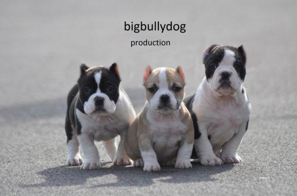 bigbullydog production 2 male disponible 7 semaine