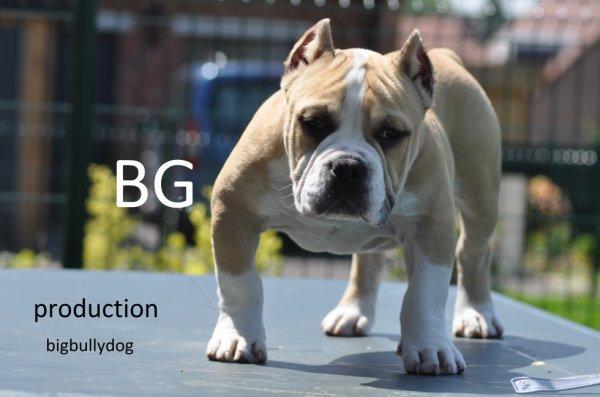 BG of bigbullydog 4 mois