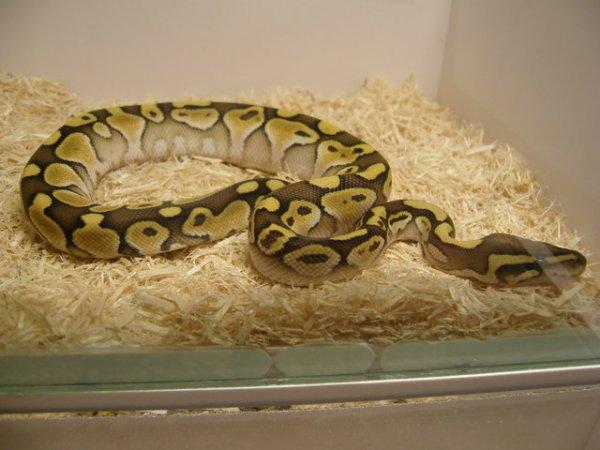 Python royal lesser