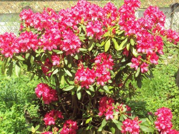 Mon Rododendron avant la pluie  ( je ne suis pas sur de l'orthographe je m'en excuse)