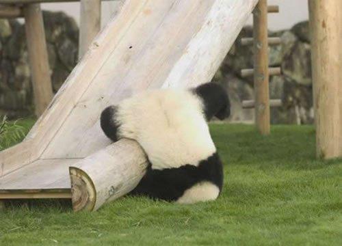 C'est l'histoire d'un panda qui en avait marre de sa vie et.. Il se panda..