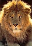Photo de lion24000