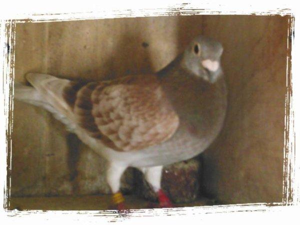 As pigeons qui ont marqué la colonie et ne compose plus l'équipe de jeu