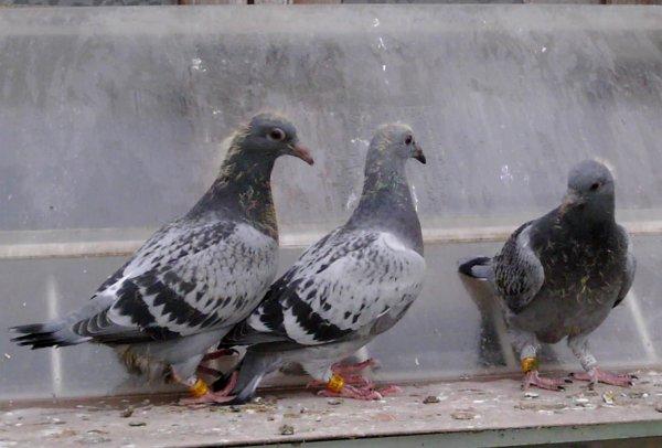 """Les hirondelles préparent leur grand voyage.Les 6 Premières places """"As pigeons Européens""""2014!."""
