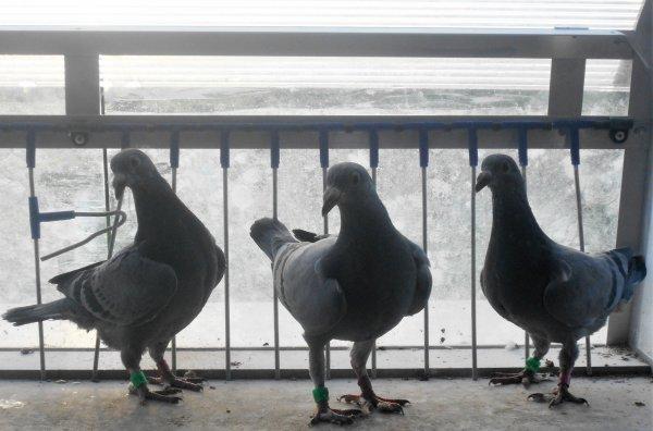 Il y a aussi les pigeons.