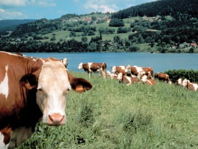 Focus d'une race bovine : La Montbéliarde.