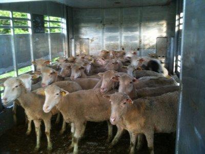 Une transhumance estivale d'ovins, j'ai énormément aimé ces clichés.