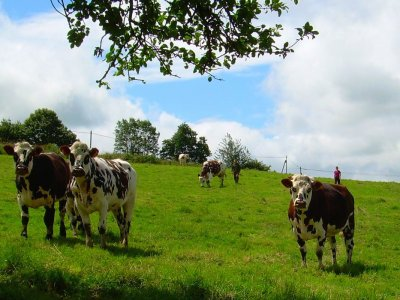 Focus d'une race bovine : La Normande.