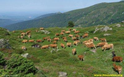 Focus d'une race bovine : La Limousine.
