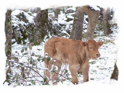 Focus d'une race bovine : La Blonde d'Aquitaine.