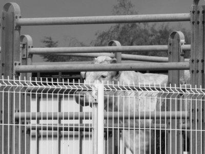 Visite du marché aux bestiaux de Bourg-en-Bresse (01).