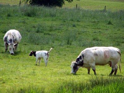 Focus d'une race bovine : La Blanc-Bleu Belge.