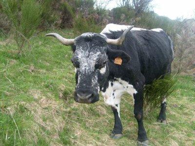 Focus d'une race bovine : La Vosgienne.