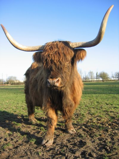 Focus d'une race bovine : La Highland Cattle.