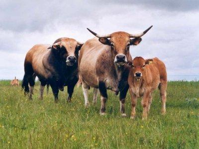 Faisons d'une pierre deux coups avec des bovins provenant du même secteur.
