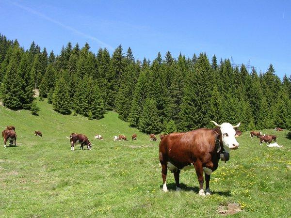 Focus sur quatre races bovines : Abondance, Tarentaise, Simmental et Créole.