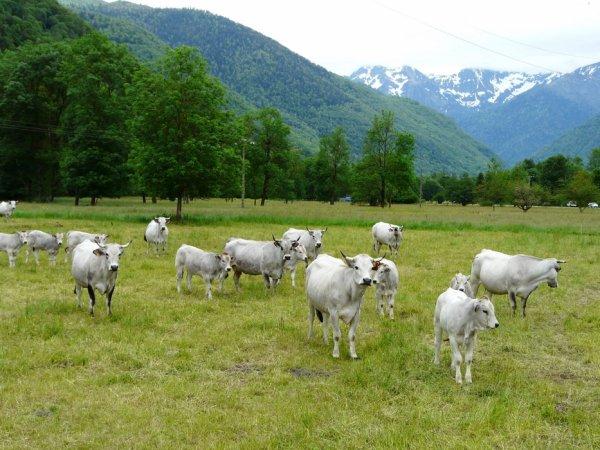 Focus sur quatre autres races bovines dont la Rouge des Prés et l'Inra 95.