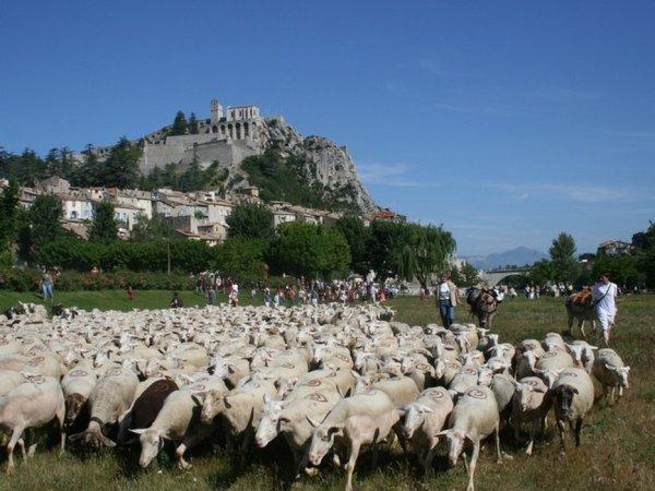 Autre entreprise familiale spécialisée dans l'ovin, Alpes Provence Agneaux (04).