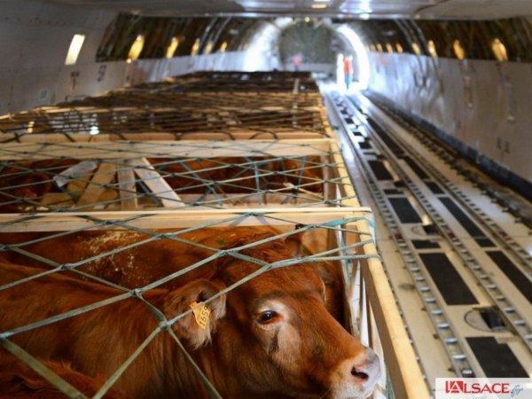 Nouvel exode de bovins de races françaises à destination de la Mongolie, acte II.