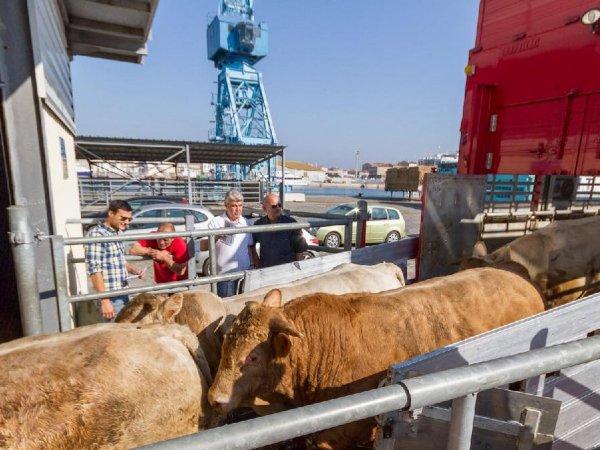 Les bovins irlandais ont pu rejoindre leurs congénères au port de Sète (34).