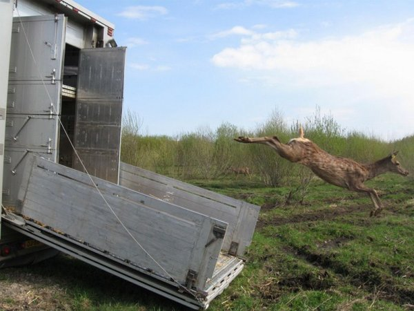 Transfert inédit d'animaux de la famille des cervidés, de fougueux faons.