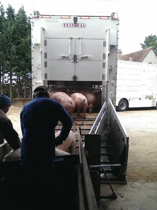 Partons ramasser des porcs charcutiers en compagnie de Didier et Victor.