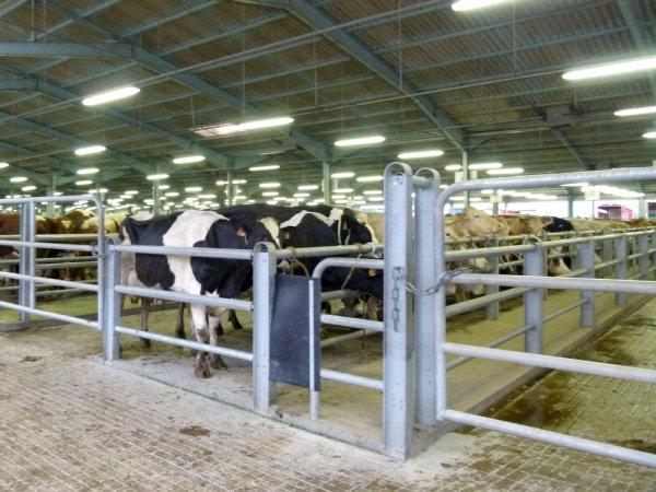Foirail de Châteaubriant (44) : Le marché aux 2000 bovins hebdomadaire.
