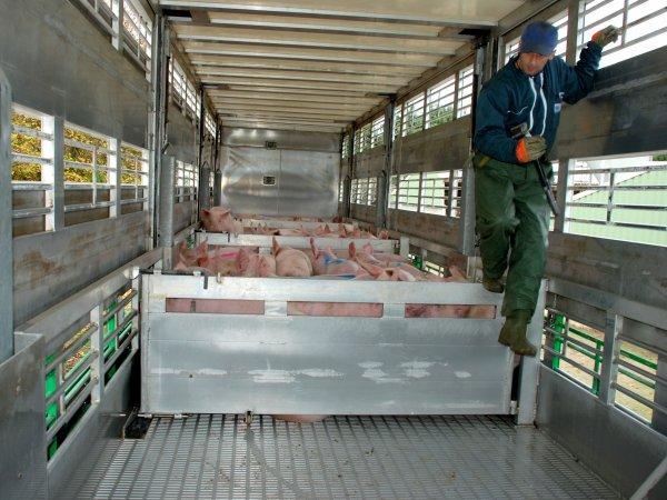 Accompagnons Gilles lors d'une journée type de collecte de porcs charcutiers.