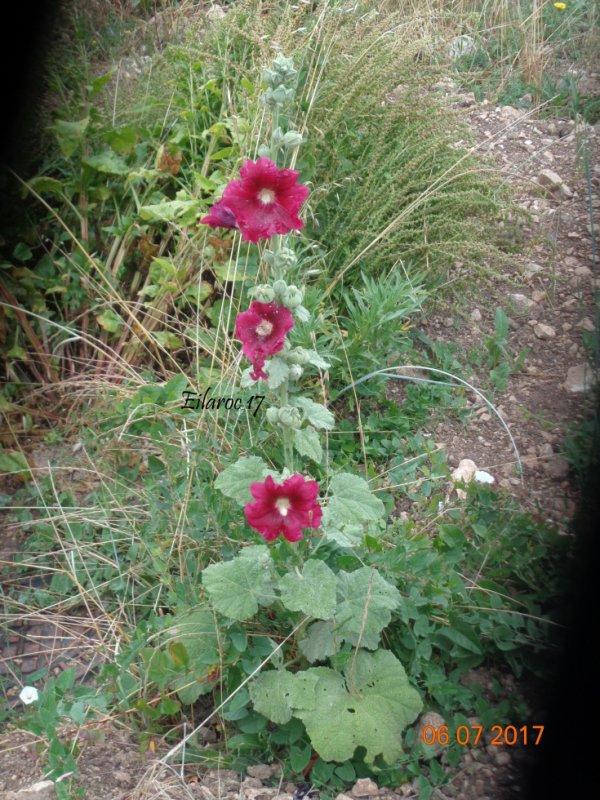 Roses trémières [Photos personnelles]