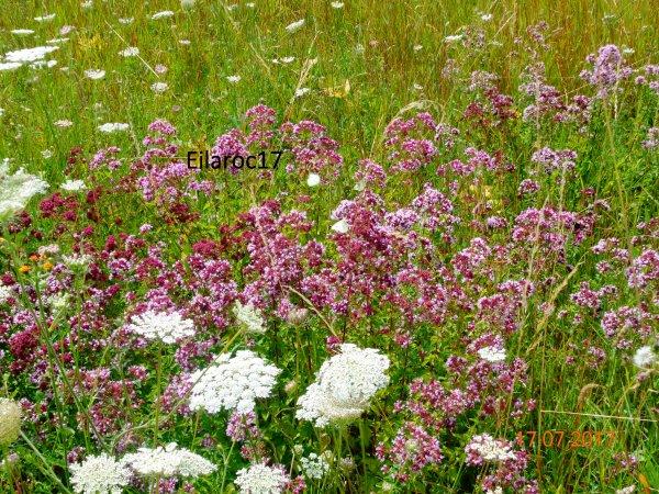 Fleurs sauvages [Photos personnelles]