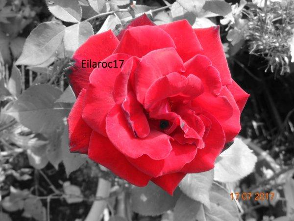 Rose [Photos personnelles]