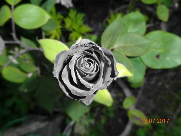 Rose [Photo personnelle]