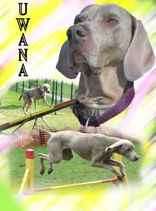 UWANA DU USSELSKIRCH chien de chasse à tout faire, sauf chasser!!!