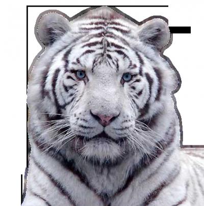 """Résultat de recherche d'images pour """"tigre blanc"""""""