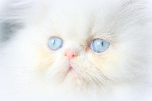 Jersey the Soleil du Sahara blanche yeux bleu Cpc Réservée
