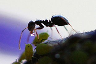 Repousser biologiquement les fourmis