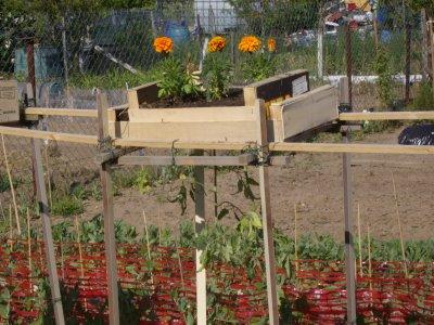 Plants de tomates la tête a l'envers