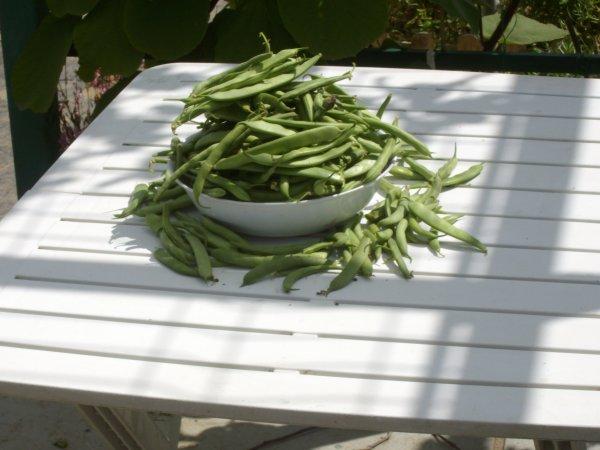 Récolte des haricots verts juillet 2012
