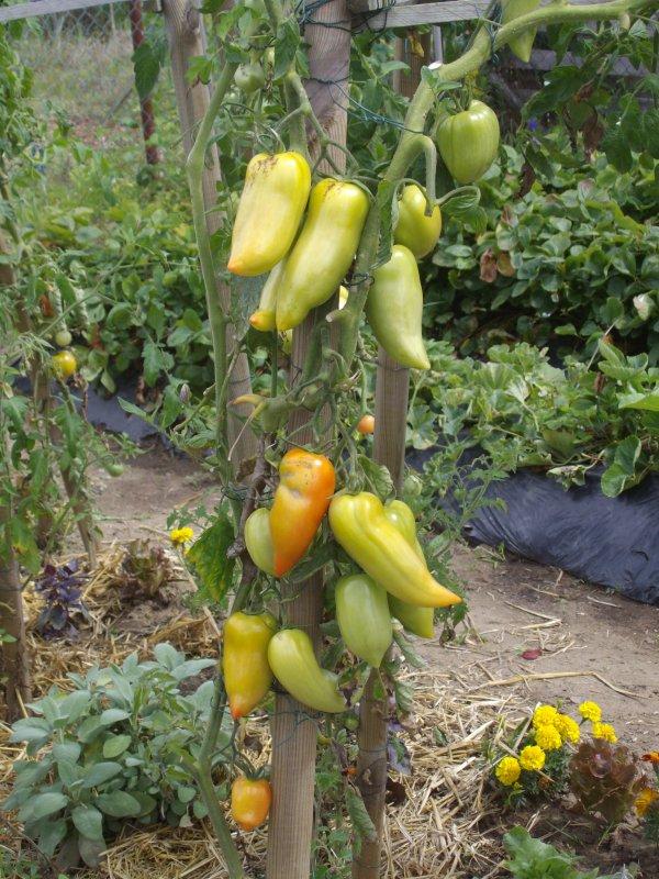 Enfin les tomates juillet 2012 elles mette du temps a murir mais ca fini par arriver.