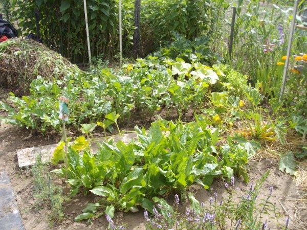 Plantes utiles rubarbarbe persil menthe angelique oseille radis noir thyn salades
