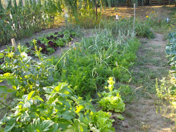 un carré de salade pres a remplacer celles que l'on recolte maintenant