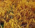le glyphosate herbicide et ces dangers