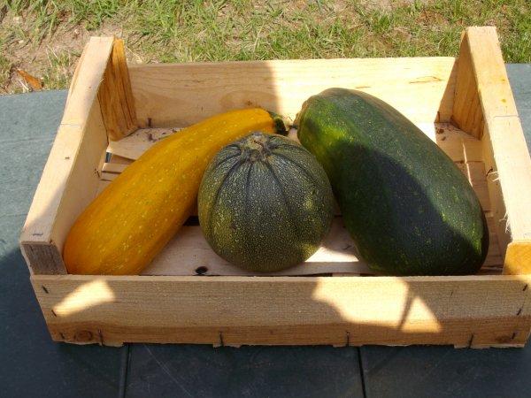 différentes espéces de courgettes de mon jardin..septembre .2013........