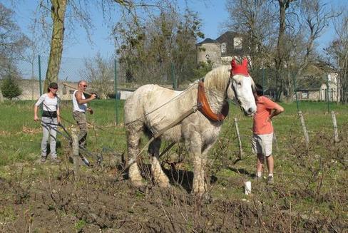 Environnement Indre-et-Loire - Tours - Environnement Les sabots des chevaux dans les pieds de vigne    12/03/2014 05:38