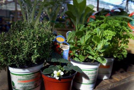 Lecture   Partager Les simples : sous ce nom, les jardiniers cultivent de nombreuses plantes aromatiques, condimentaires, médicinales ou à parfum.