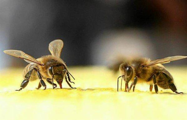 L'abeille noire d'Ouessant réimplantée partout en Europe - See more at: http://www.mieux-vivre-autrement.com/abeille-noire-douessant-a-la-conquete-du-continent-europeen.html#sthash.hIln7xKk.aovLZwAe.dpuf