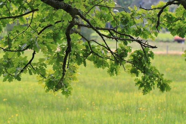Comment utiliser le chêne, en cuisine et pour la santé?