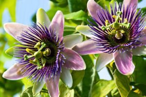 La passiflore (passiflora), ou les fruits de la passion
