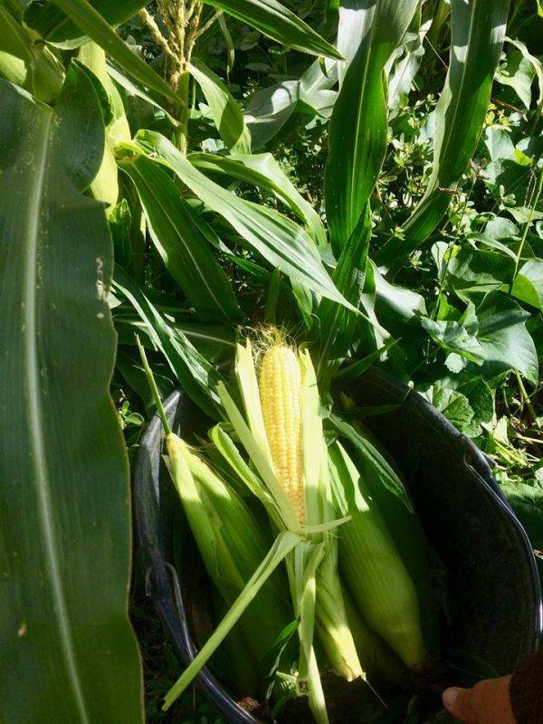 Idée pour la préparation du maïs doux frais