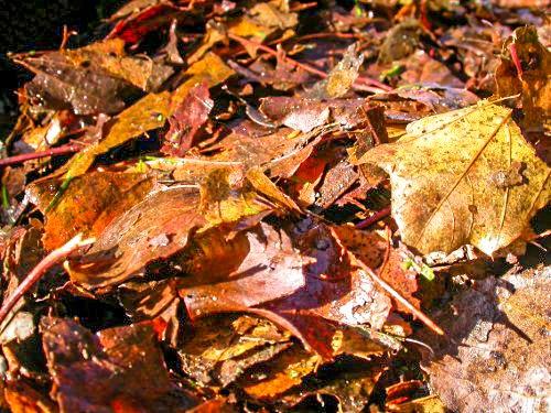 Les feuilles mortes  meilleurs paillis, c'est celui que l'on retrouve dans la forêt.